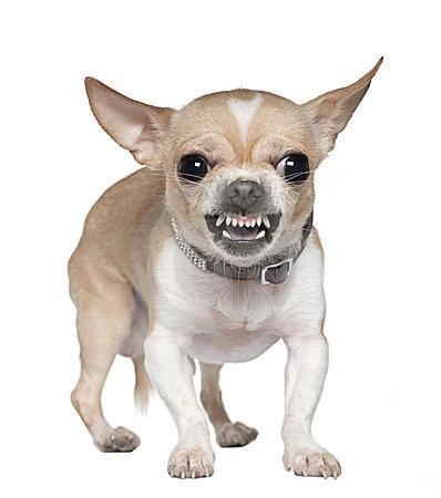 Chihuahua gruñendo