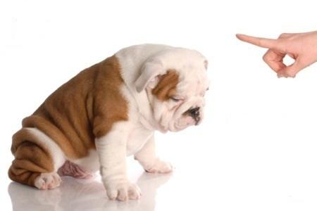 cachorro bull dog