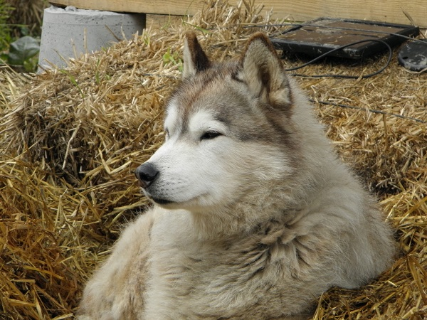 husky siberiano mayor